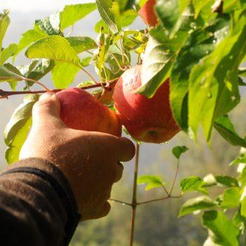 Wie viele Apfelsorten kennen Sie?
